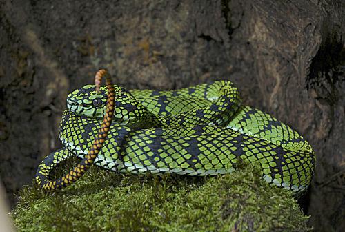 Bild Sumatra Bambusotter